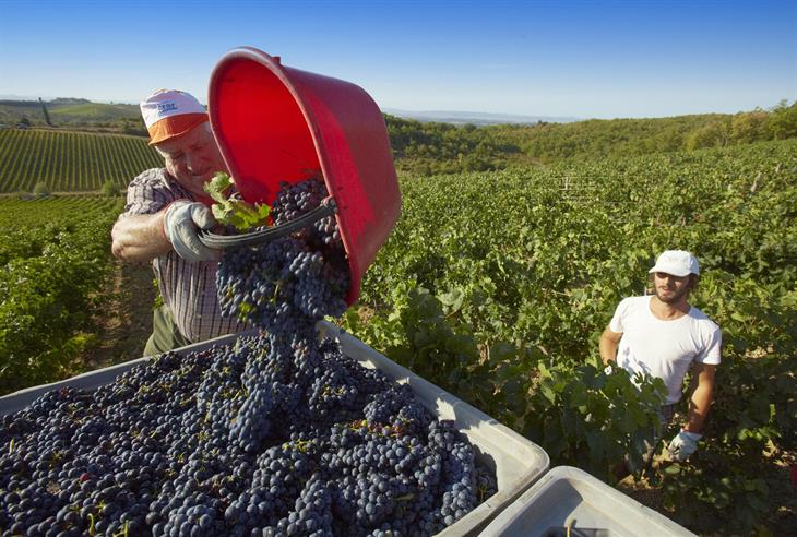 FABIO MUZZI:AFP:Getty Images Vendemmia