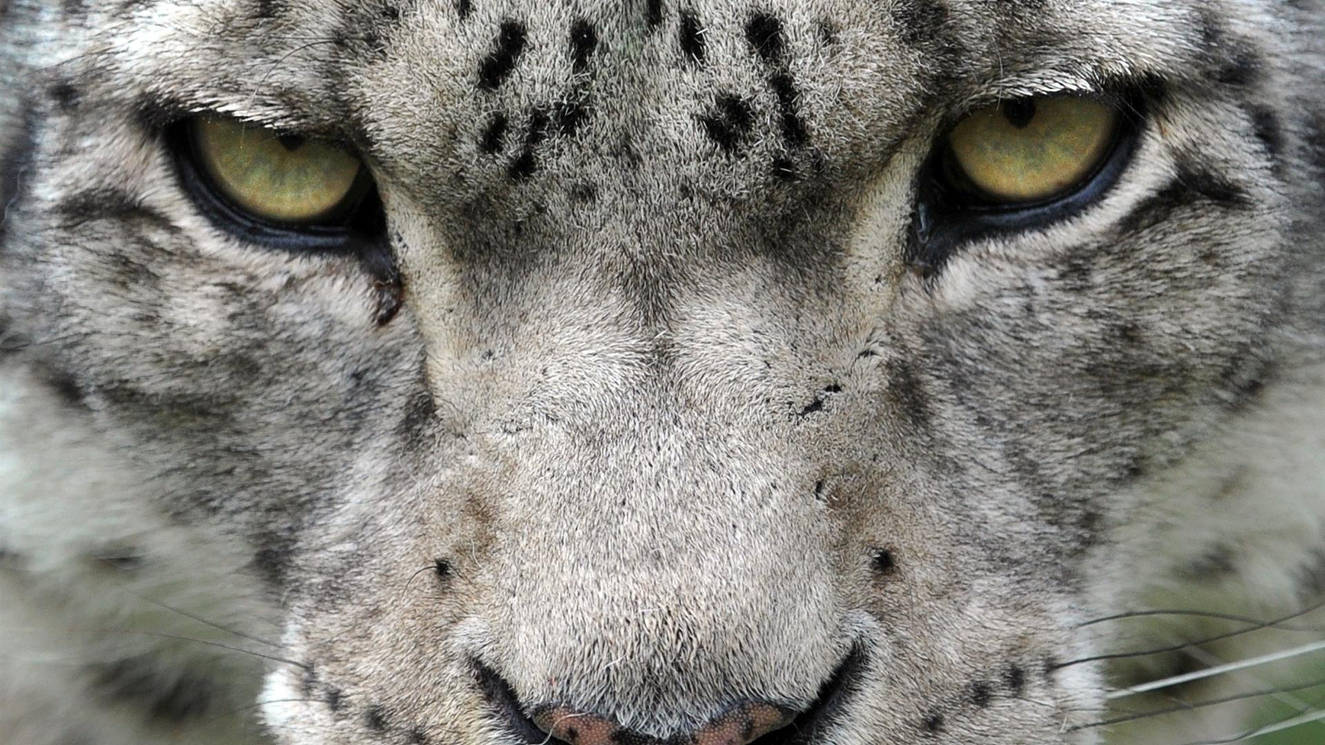 VYACHESLAV OSELEDKO:AFP:Getty Images Leopardo Neve