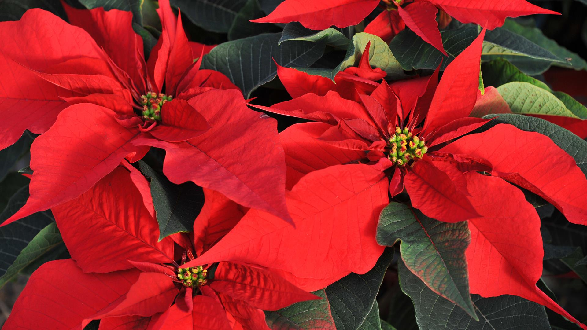 Poinsettia FRANK PERRY:AFP:Getty Images